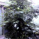 大阪、都島区でモミジ(紅葉)の剪定、消毒(S様邸)作業前画像