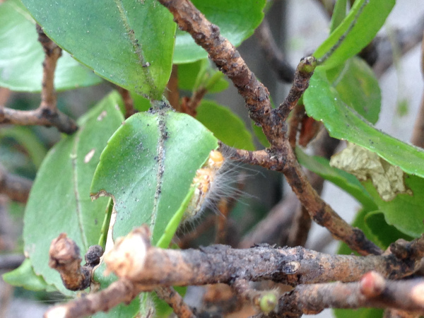 サザンカに巣食うチャドクガの幼虫