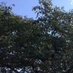 大阪、旭区で桜の剪定(施設)作業前画像