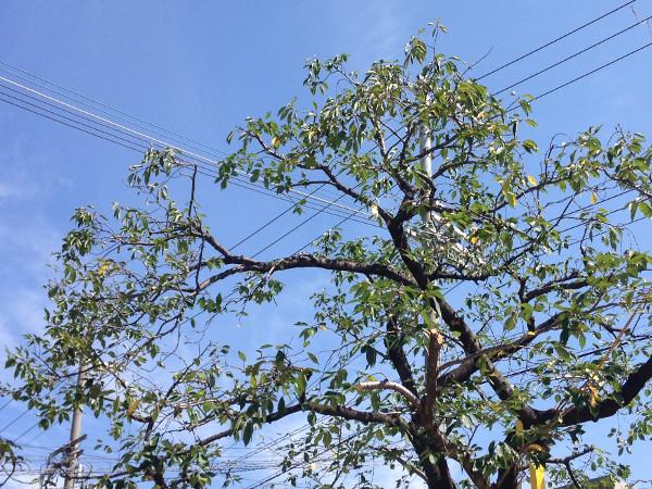大阪、旭区で桜の剪定(施設)作業後画像