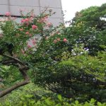 兵庫、伊丹で松やサルスベリなどの剪定(E様邸) 作業前
