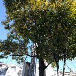 守口市でクスノキ(楠)の伐採