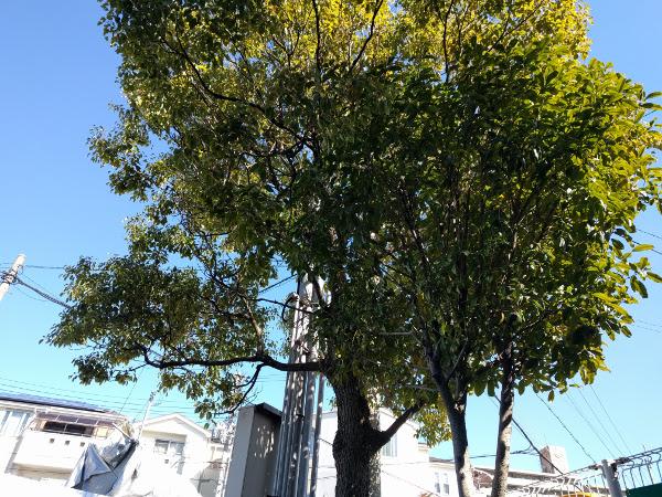 大阪、守口でクスノキの伐採前のマンション