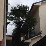 淀川区でシュロ(棕櫚)の剪定『I様邸』