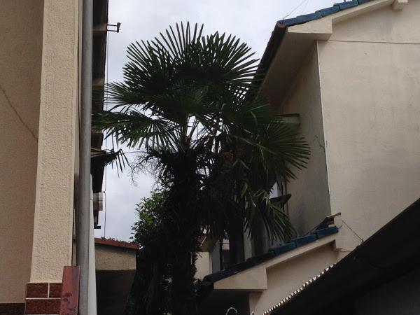 大阪、淀川区でシュロ(棕櫚)の剪定前画像