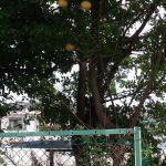 北区でミカン(柑橘類)の伐採
