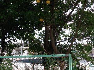 北区でミカン(柑橘類)の伐採前のお庭