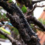 マツカレハの幼虫、マツケムシ
