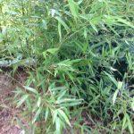 西淀川区で竹の伐採