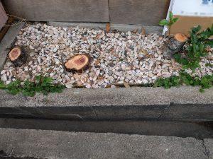 西淀川区でカイズカイブキとキンモクセイの伐採後の幹