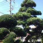 大阪、豊中で松の剪定(Y様邸)作業前