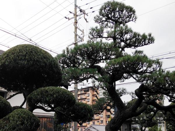 大阪、豊中で松の剪定(Y様邸)作業後