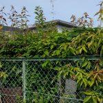 吹田市で駐車場の生垣の剪定