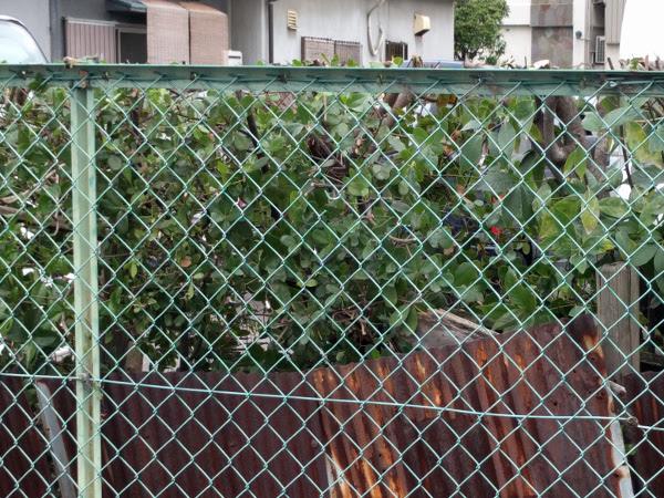 吹田市で『R様』駐車場の生垣の剪定後