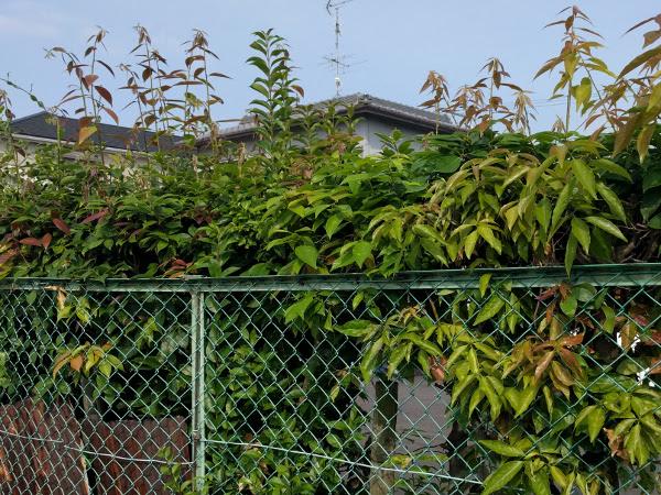 吹田市で『R様』駐車場の生垣の剪定前