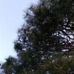 箕面でお庭のお手入れ『松 (赤松)の剪定)』