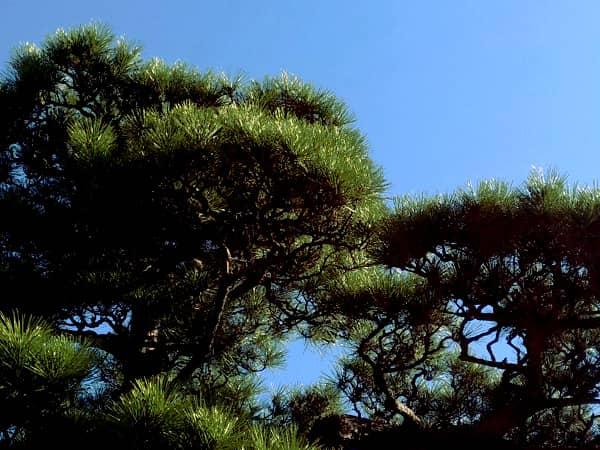 伊丹市のA様宅のお庭の松(剪定前)