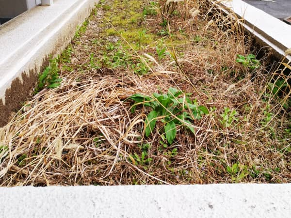 箕面マンションの植栽スペースの雑草