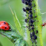 庭木の害虫、アブラムシについて