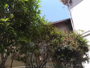 東淀川区で庭木の害虫駆除の薬剤散布前