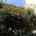 東淀川区の個人邸で庭木の消毒