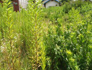 箕面で空き地の草刈り、除草剤散布(作業前)