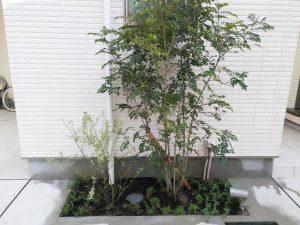 淀川区でシンボルツリーのシマトネリコ植栽