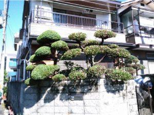 尼崎市でマキ、ウバメガシ、カイズカイブキの刈り込み剪定後