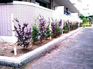 高槻市のマンションでベニバナトキワマンサクなどの植栽完了