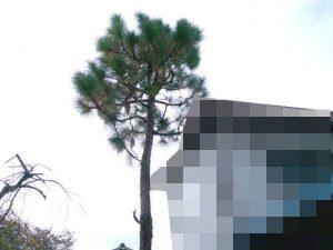 下枝の無い不要な大王松